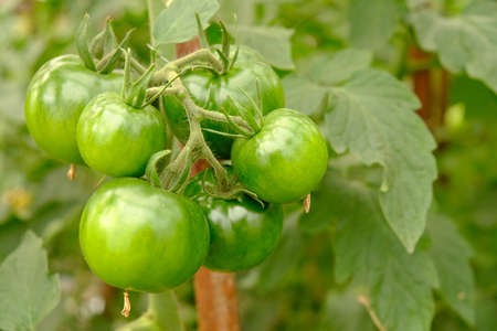 fruits of green tomato hanging on a branch in a greenhouse close-up. 免版税图像