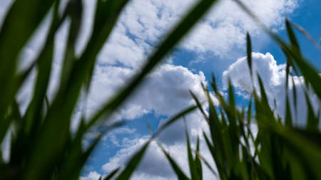 blue sky and white clouds bottom view with green grass beauty of nature, spring time