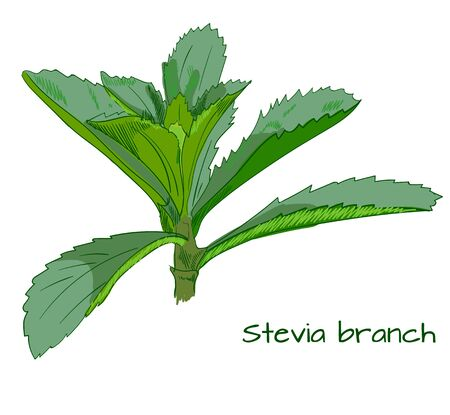 sweetener: Stevia branch sketch isolated on white.