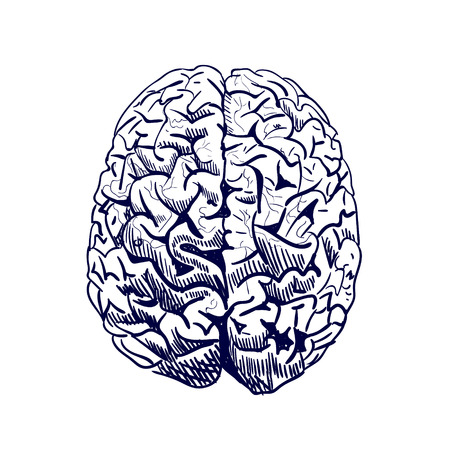 Brain sketch. VECTOR colored hand drawn human brain. Front view. Line work, blue.
