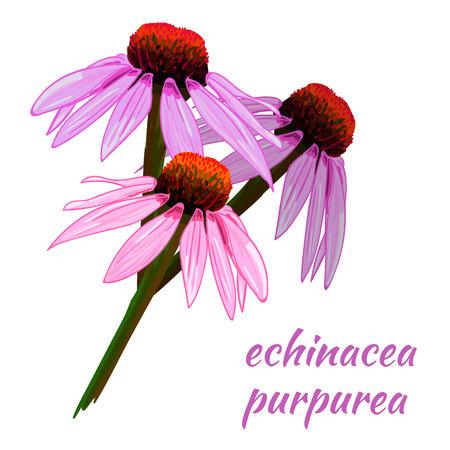 Echinacea purpurea VECTOR sketch. Hand drawn illustration. Colored flower. Vector Illustration