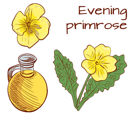Medical herbs: evening primrose. VECTOR illustration. Colored sketch