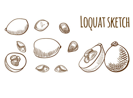 Loquat outline drawing isolated. VECTOR illustration set.