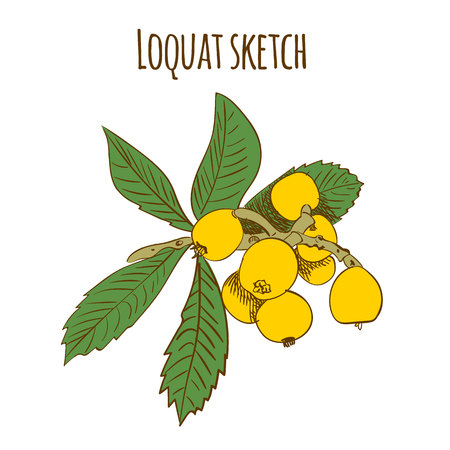 Loquat colored sketch isolated on white. VECTOR illustration. Illustration
