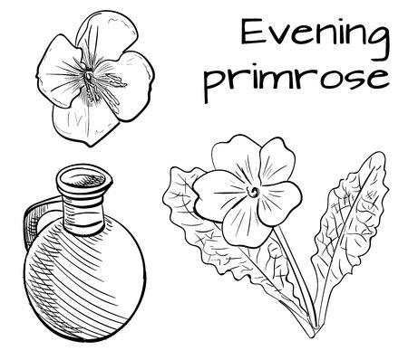 약용 식물 : 달맞이꽃 종자. 손으로 그려진 된 벡터 일러스트 레이 션. 스케치 개요.