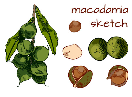Macadamia painting. VECTOR sketch. Colored sketch isolated on white.