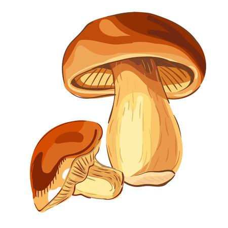 cep: Mushroom Boletus. VECTOR illustration. Illustration