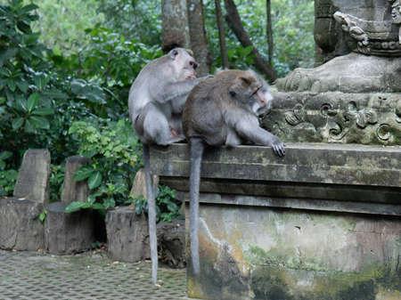 Adult Money grooms another adult monkey in Monkey Forrest, Ubud, Bali, Indonesia. 免版税图像