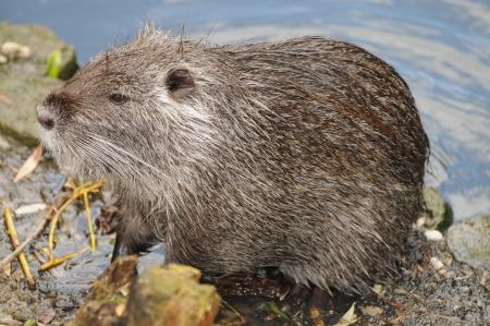 castoro: European Beaver