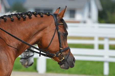 Brown Arabian Stallion