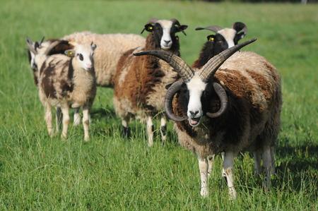 jacob: Jacob Sheep Stock Photo