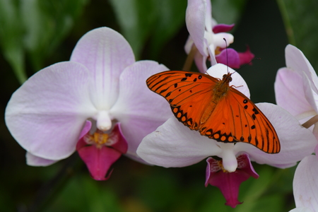 dorsal: Passion Butterfly  Gulf Fritillary (Agraulis Vanillae)