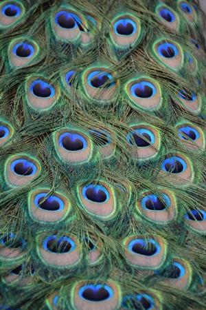 common peafowl: Indian Peafowl  Blue Peafowl  Pavo Cristatus