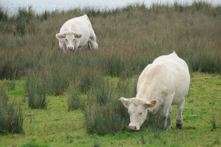 Charolais Cows By The Lake  Charolles Cows By The Lake photo