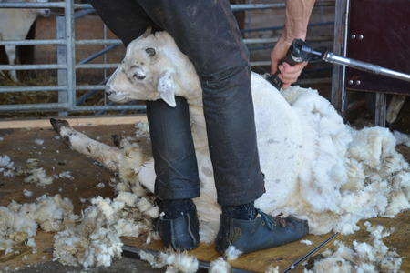 clippers: Sheep Shearing Stock Photo