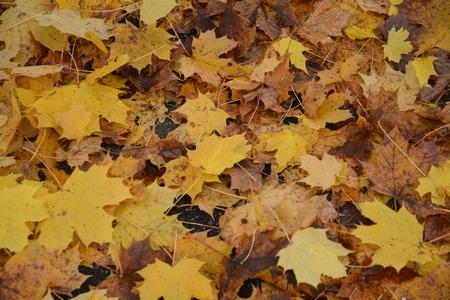 seaonal: Fallen Maple Leaves In Fall