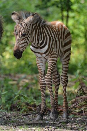 grant: Grant Zebra Foal