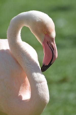 florida flamingo: Pink Flamingo
