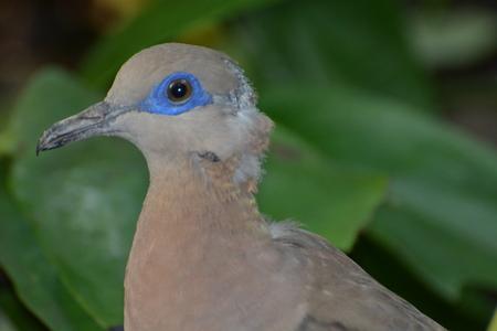 asiatica: White-Winged Dove (Zenaida Asiatica)