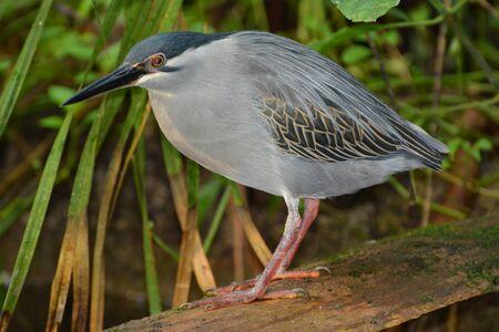 striated: Striated Heron (Butorides Striatus)