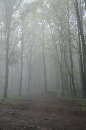 forrest: Foggy Forrest Stock Photo