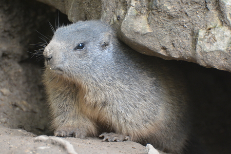 cautions: This is an alpine marmot marmota marmota in its rockpile looking out of his selfbuilt cave. Stock Photo