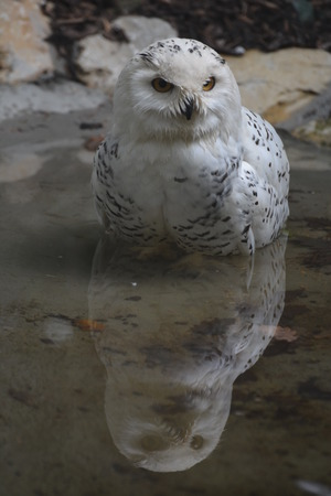 waterside: A snowy owl bubo scandiacus at the waterside.