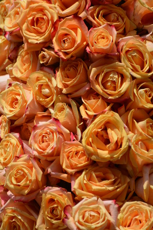 Big group of pink roses which were part of a celebration decoration. Stock Photo