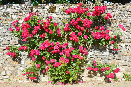 red wall: Climbing Rose Bush Growing On A Wall Stock Photo