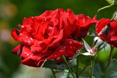 Red Roses With Morning Dew Stock Photo
