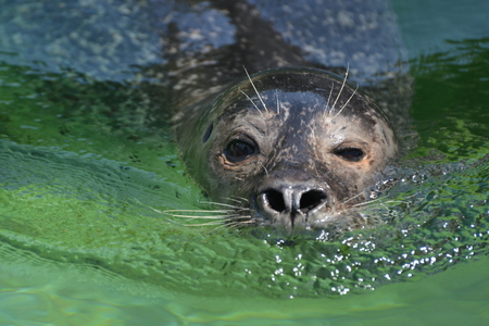 smooching: A sea lion swimming in the clear green water.