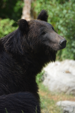 Ussuri Brown Bear Ursus Arctos Lasiotus sitting and watching another bear nearby. Stock Photo