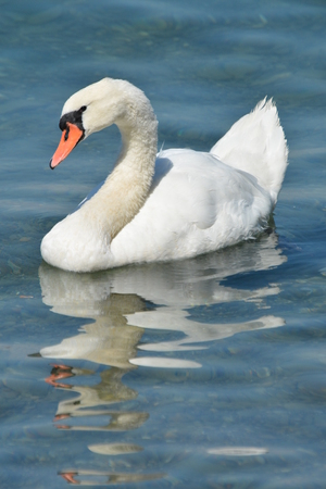 White swan seen at the beautiful lake in Zurich, Switzerland. Stock Photo
