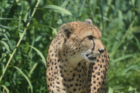 Closeup of a Cheetah Acinonyx Jubatus looking at something in the distance.
