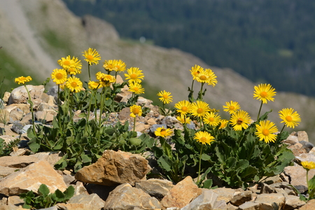 Arnica montana doronicum grandiflorum found in the Swiss alps.