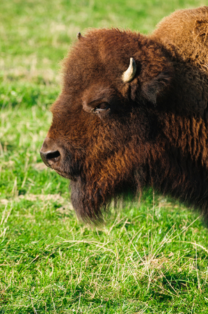The American Bison or American Buffalo are found in the wild but have also been domesticated for breeding. Stock Photo