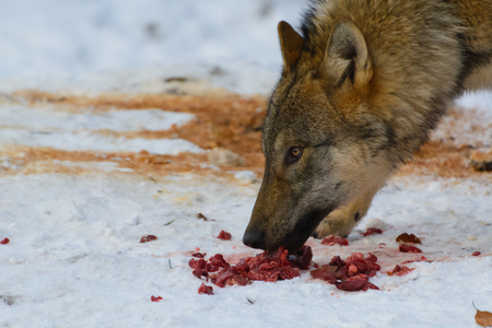Close up of an european grey wolf canis lupus lupus in winter.