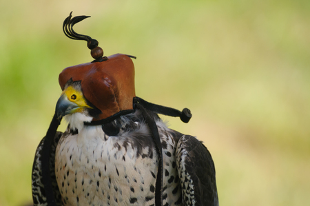 Saker falcon with leather head covering. The purpose of the hood is to hide the stimulus of the world from the birds sight to calm or prevent the bird from reacting to things.