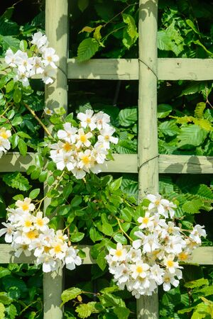 White wild roses growing over a wooden fence inmidst of a beautiful garden.