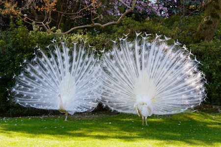 Two white albino peafowls displaying their feathers in courtship manner.