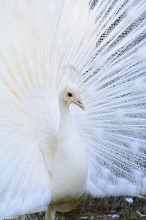 A white albino peafowl displaying its feathers in courtship manner.