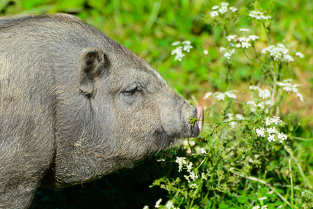 Pot-bellied pig in midst a green pasture with flowers.