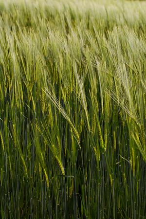 View of a cultivated barley field during the months of spring.