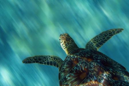 apo: Turtle in China sea around Apo Island - Philippines Stock Photo