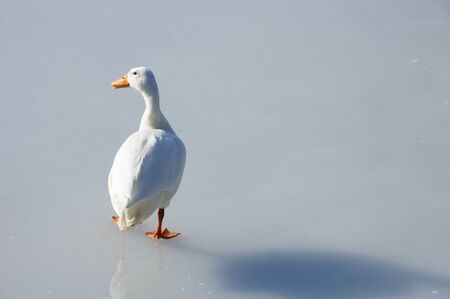 A white duck, with orange beak and legs, on the ice of a frozen lake photo