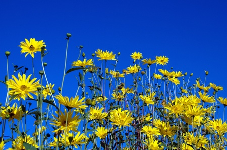 Yellow flowers in front of blue sky for background or textures