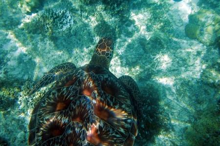 apo: Sea turtle in China sea around Apo Island - Philippines