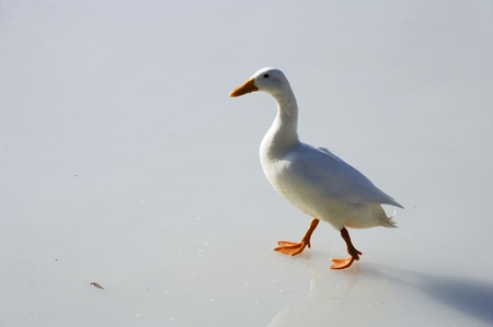 White duck, with orange beak and feet, walking on ice of a frozen lake. Stock Photo - 10754860