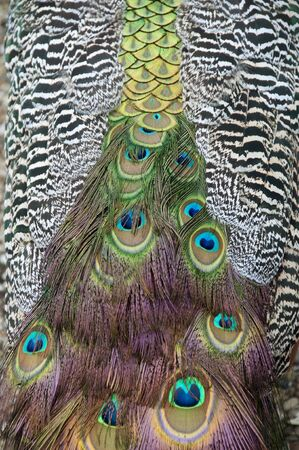 Close view of feathers of a peacock  photo