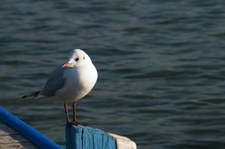 red beak: Seagull with red beak and legs on a blue wooden pole. Black-headed gull. Latin name : Larus ridibundus